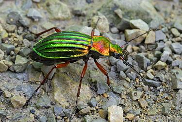 Ground Beetle (Carabus auratus), Aargau Jura Park, Switzerland  -  Thomas Marent