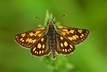 Chequered Skipper (Carterocephalus palaemon)butterfly, Aargau Jura Park, Switzerland  -  Thomas Marent