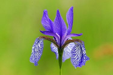 Siberian Iris (Iris sibirica), Switzerland  -  Thomas Marent