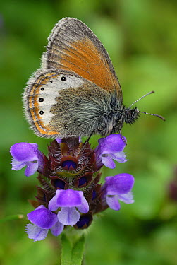 Alpine Heath (Coenonympha gardetta) butterfly, Alps, Switzerland  -  Thomas Marent