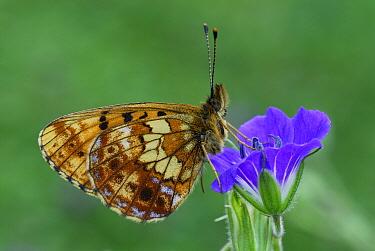 Titania's Fritillary (Boloria titania) butterfly, Alps, Switzerland  -  Thomas Marent
