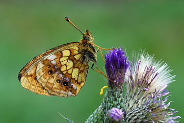 Marbled Fritillary (Brenthis daphne) butterfly on thistle, Alps, Switzerland  -  Thomas Marent