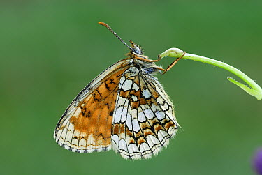 Heath Fritillary (Melitaea athalia) butterfly, Alps, Switzerland  -  Thomas Marent