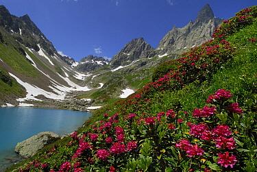 Alpenrose (Rhododendron ferrugineum), Alps, Switzerland  -  Thomas Marent