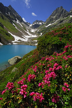 Alpenrose (Rhododendron ferrugineum), Alps, Switzerland  -  Thomas Marent