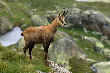 Chamois (Rupicapra rupicapra), Alps, Switzerland  -  Thomas Marent