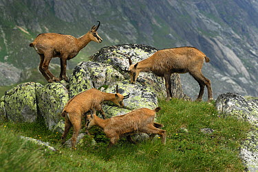 Chamois (Rupicapra rupicapra) group eating lichen, Alps, Switzerland  -  Thomas Marent