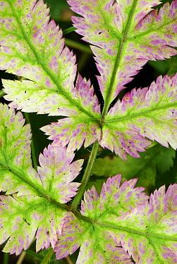 Geranium (Geranium sp) leaves, Switzerland  -  Thomas Marent