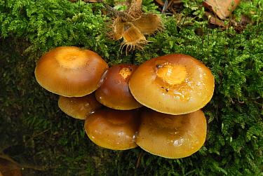 Sheathed Woodtuft (Kuehneromyces mutabilis) mushroom, Black Forest, Germany  -  Thomas Marent