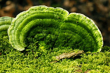 Bracket Fungus (Trametes sp), Geissberg, Switzerland  -  Thomas Marent