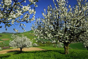 Sweet Cherry (Prunus avium) trees flowering, Switzerland  -  Thomas Marent