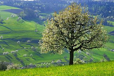 Sweet Cherry (Prunus avium) tree blooming, Switzerland  -  Thomas Marent