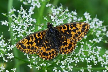 Weaver's Fritillary (Clossiana dia) butterfly, Switzerland  -  Thomas Marent