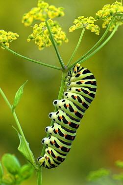 Oldworld Swallowtail (Papilio machaon) caterpillar, Switzerland  -  Thomas Marent