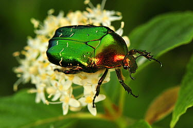 Green Rose Chafer (Cetonia aurata) beetle, Switzerland  -  Thomas Marent