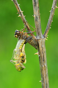Four-spotted Chaser (Libellula quadrimaculata) dragonfly nymph hatching, Switzerland, sequence 1 of 5  -  Thomas Marent