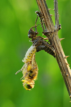 Four-spotted Chaser (Libellula quadrimaculata) dragonfly nymph hatching, Switzerland, sequence 2 of 5  -  Thomas Marent