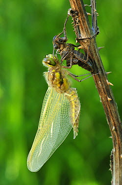 Four-spotted Chaser (Libellula quadrimaculata) dragonfly, newly emerged adult drying its wings, Switzerland, sequence 4  of 5  -  Thomas Marent