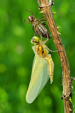 Four-spotted Chaser (Libellula quadrimaculata) newly emerged adult dragonfly drying its wings, Switzerland, sequence 5 of 5  -  Thomas Marent