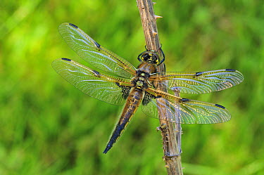 Four-spotted Chaser (Libellula quadrimaculata) dragonfly, Switzerland  -  Thomas Marent