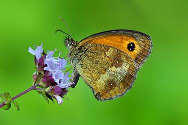 Gatekeeper (Pyronia tithonus) butterfly, Switzerland  -  Thomas Marent