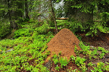 Red Wood Ant (Formica rufa) anthill in forest, Muotathal, Switzerland  -  Thomas Marent