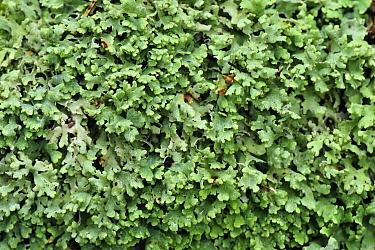 Lichen (Cetraria sp), Switzerland  -  Thomas Marent