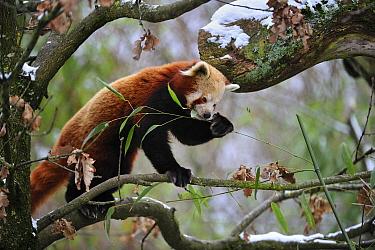 Lesser Panda (Ailurus fulgens) eating bamboo, China  -  Thomas Marent