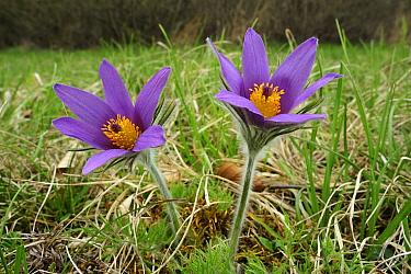 Dane's Blood (Pulsatilla vulgaris) flowers, Switzerland  -  Thomas Marent