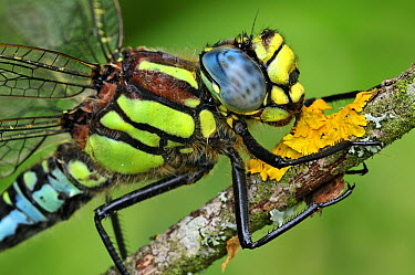 Hairy Dragonfly (Brachytron pratense), Switzerland  -  Thomas Marent