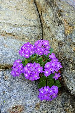 Hairy Primrose (Primula hirsuta), Switzerland  -  Thomas Marent