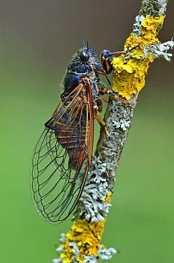 Cicada (Cicadetta cantilatrix), Effingen, Switzerland  -  Thomas Marent