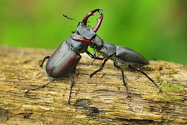 Stag Beetle (Lucanus cervus) males fighting, Switzerland  -  Thomas Marent