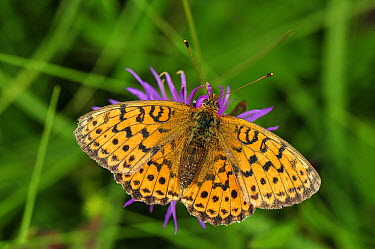 Lesser Marbled Fritillary (Brenthis ino) butterfly, Switzerland  -  Thomas Marent