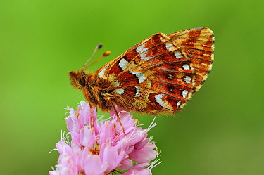 Shepherd's Fritillary (Boloria pales) butterfly, Switzerland  -  Thomas Marent