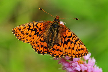 Shepherd's Fritillary (Boloria pales) buttefly, Switzerland  -  Thomas Marent