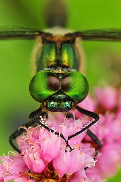 Yellow-spotted Dragonfly (Somatochlora flavomaculata), Switzerland  -  Thomas Marent