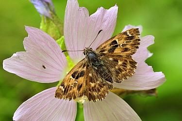 Mallow Skipper (Carcharodus alceae) butterfly, Switzerland  -  Thomas Marent