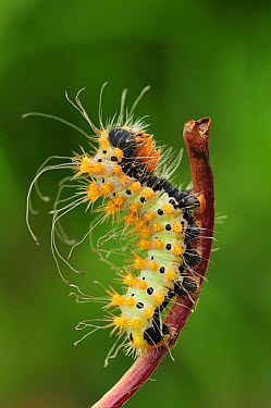 Giant Peacock Moth (Saturnia pyri) caterpillar, Switzerland  -  Thomas Marent