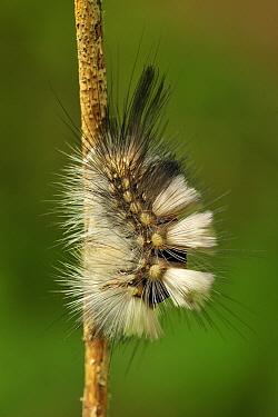 Pale Tussock (Calliteara pudibunda) catepillar, Switzerland  -  Thomas Marent