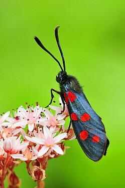 Southern Six-spot Burnet Moth (Zygaena transalpina), Switzerland  -  Thomas Marent
