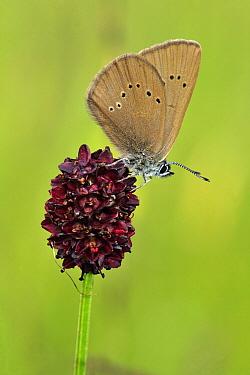 Dusky Large Blue Butterfly (Maculinea nausithous) on Great Burnet (Sanguisorba officinalis), Switzerland  -  Thomas Marent