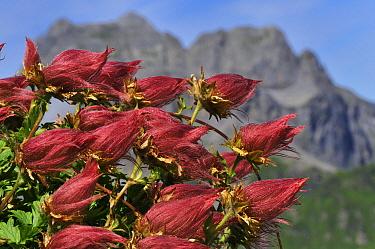 Creeping Avens (Geum reptans) seeds and stems, Switzerland  -  Thomas Marent