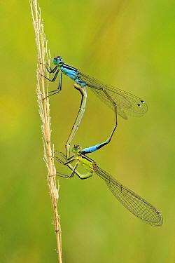 Blue-tailed Damselfly (Ischnura elegans) pair mating, Switzerland  -  Thomas Marent