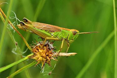 Large Gold Grasshopper (Chrysochraon dispar), Switzerland  -  Thomas Marent