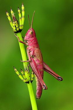 Large Gold Grasshopper (Chrysochraon dispar) female on horsetail, Switzerland  -  Thomas Marent