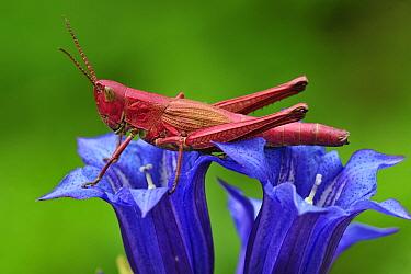 Large Gold Grasshopper (Chrysochraon dispar) female, Switzerland  -  Thomas Marent