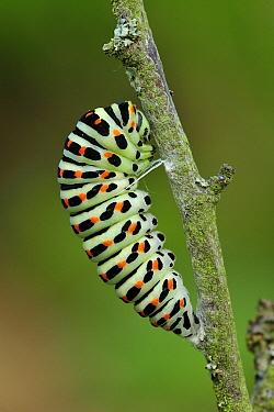 Oldworld Swallowtail (Papilio machaon) caterpillar transforming into chrysalis, Switzerland, sequence 1 of 8  -  Thomas Marent