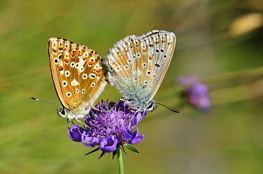 Chalkhill Blue (Polyommatus coridon) butterfly pair mating, Switzerland  -  Thomas Marent