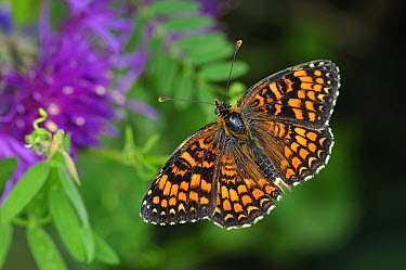 Knapweed Fritillary (Melitaea phoebe) butterfly, Switzerland  -  Thomas Marent